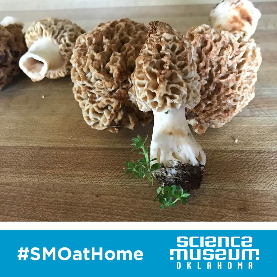 Photo of morel mushrooms.