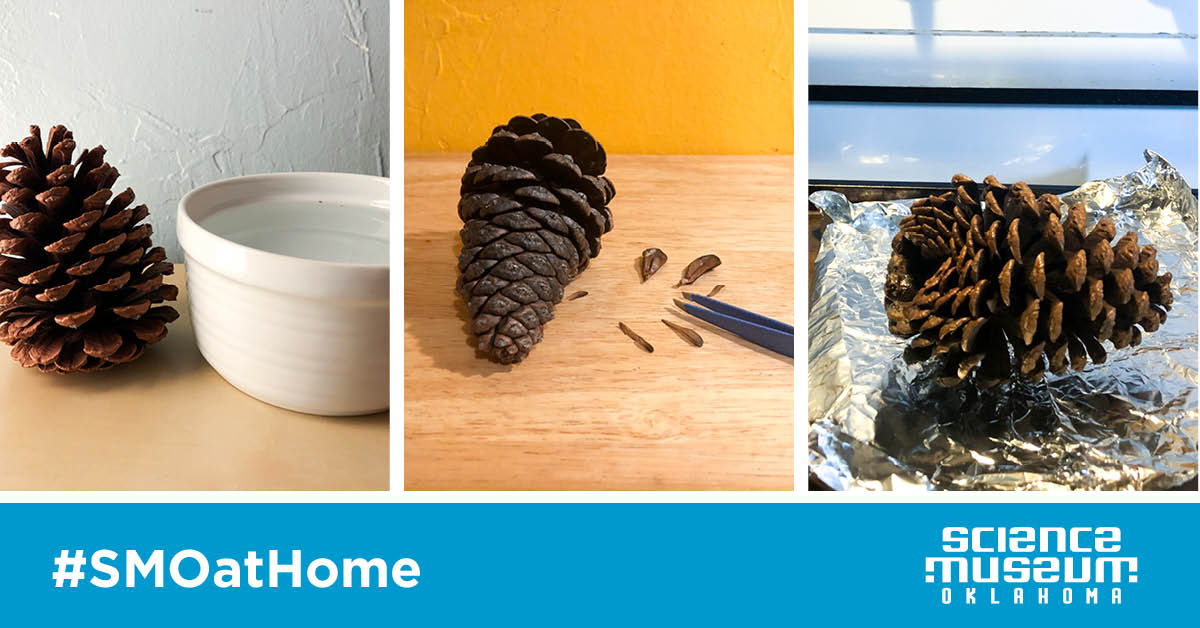 Try This: Investigate Pinecones!