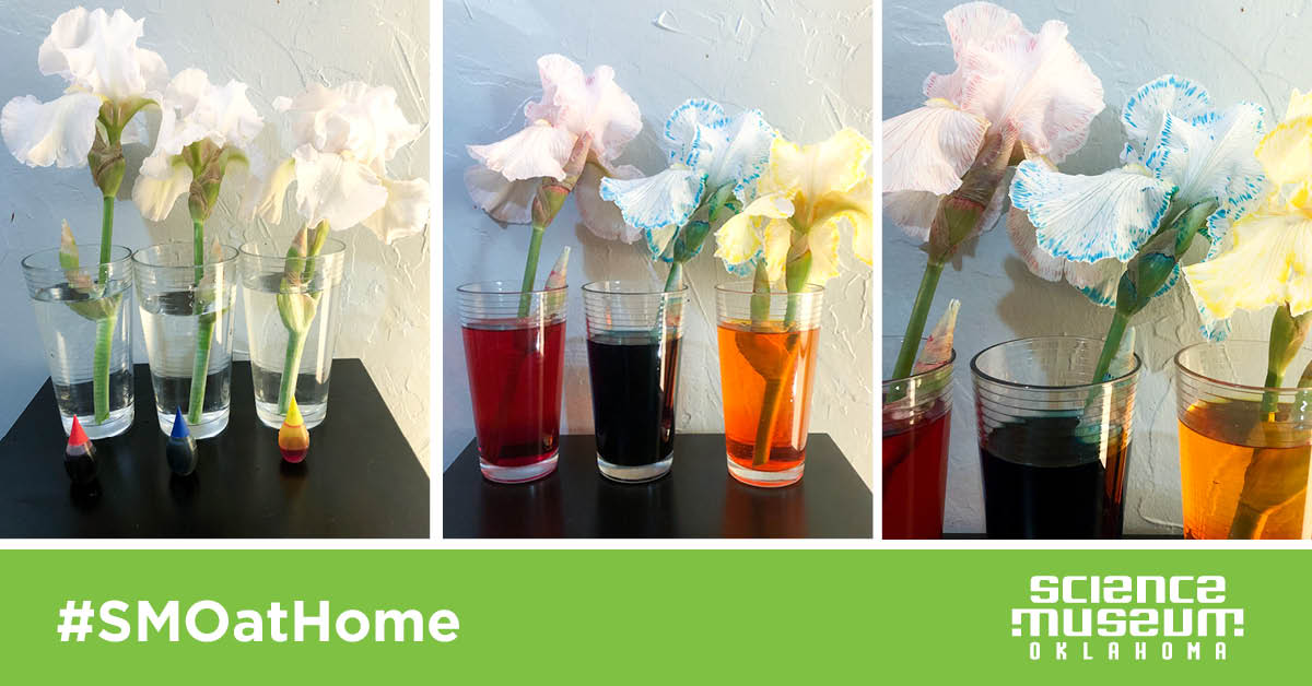 Try This: Colorful Transpiration